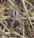 wolf spider? - Thanatus formicinus