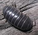 Woodlice (Oniscidea) - Armadillidium vulgare