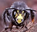 Anthophora with yellow face - Anthophora ursina - male