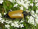 long horned beetle - Trigonarthris proxima