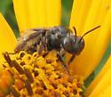 On sunflower - female