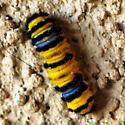 Caterpillar  - Harrisina metallica