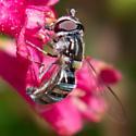 Pseudoscaeva diversifasciata - female