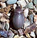 Phyllophaga vetula? - Phyllophaga vetula