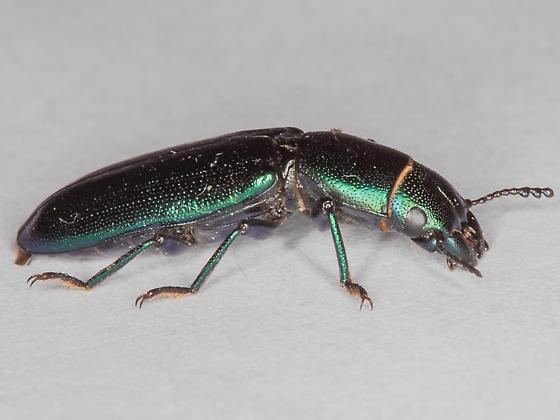 Metalic Green Beetle? - Temnoscheila