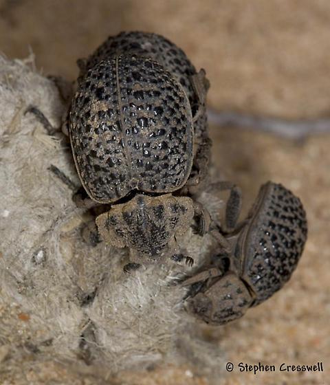 Hide Beetles - Omorgus scutellaris