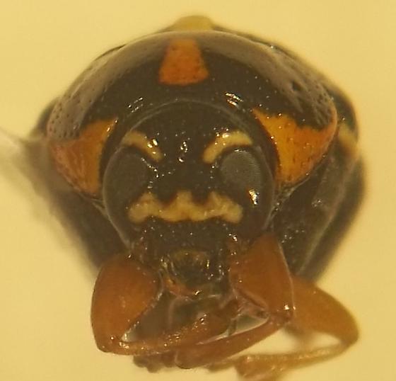 unknown chrysomelid - Griburius scutellaris