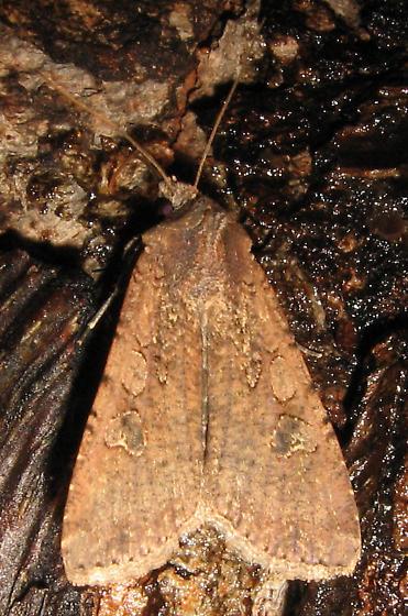 NJ Variegated Cutworm Moth - Peridroma saucia