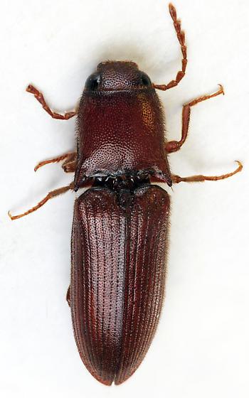 Click Beetle - Blauta cribraria