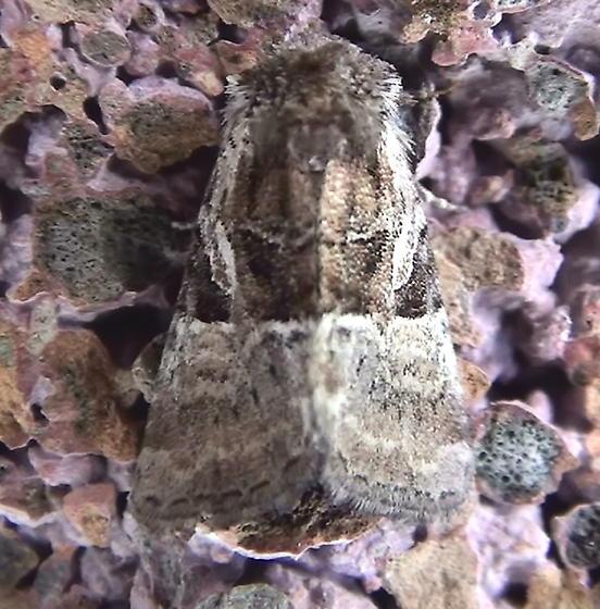 Noctuidae: Meropleon diversicolor? - Meropleon ambifusca