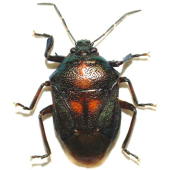 Predatory Stinkbug - Oplomus dichrous - male
