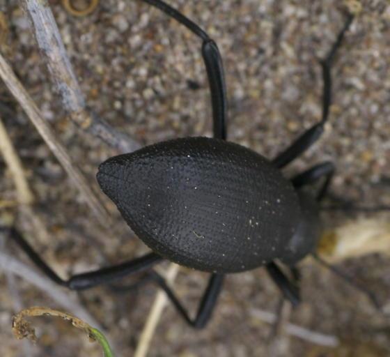 Black darkling beetle  - Eleodes