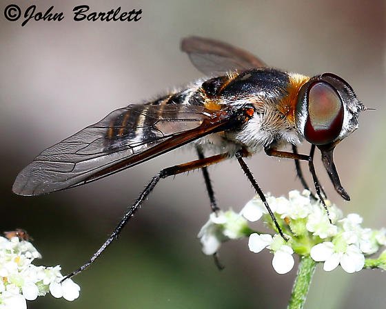 Bee Flies (Bombyliidae) » Anthracinae » Villini - Villa