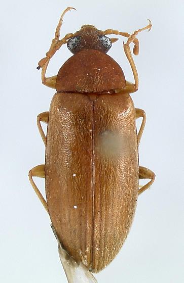 Tedinus angustus Casey - Tedinus angustus