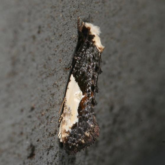 moth - Monopis longella