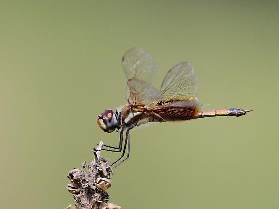 Striped Saddlebags - Tramea calverti - female