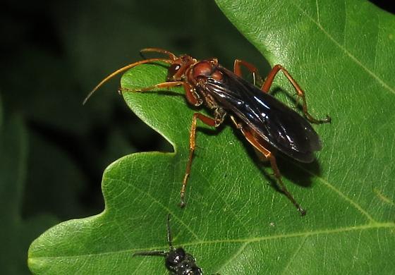 Spider wasp - Priocnessus coloradensis - female