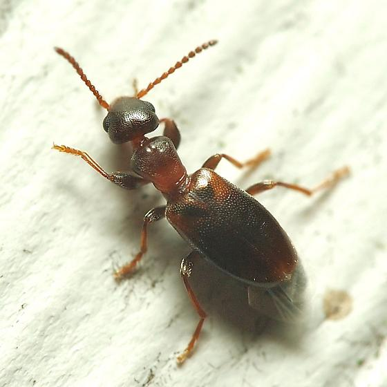Another Unknown Rove Beetle - Omonadus floralis