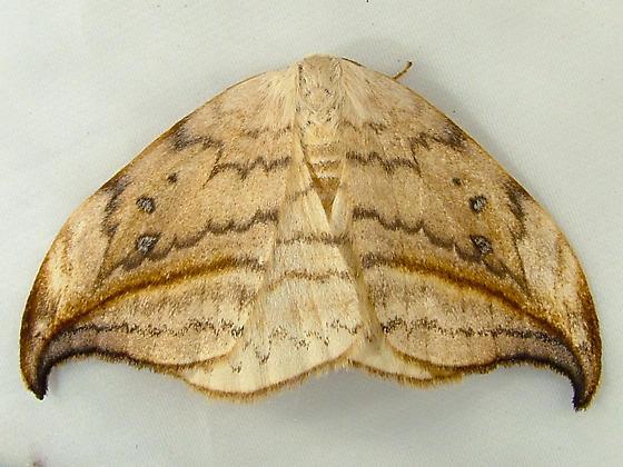 2086 Drepana arcuata - Arched Hooktip 6251 - Drepana arcuata