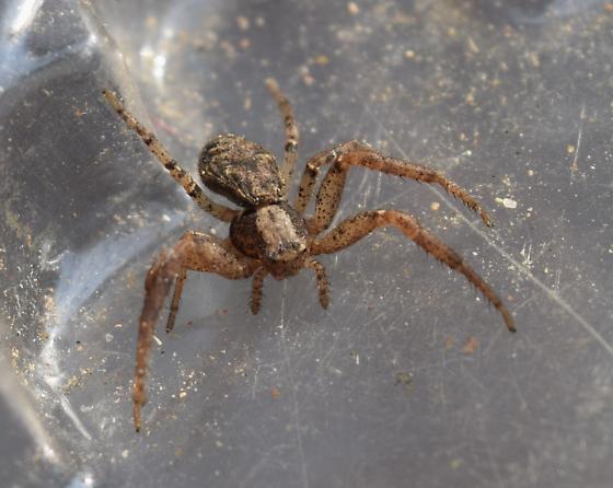 crab spider - Xysticus