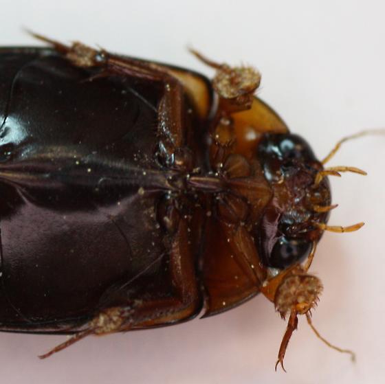 Dytiscus ID - Prodaticus bimarginatus - male