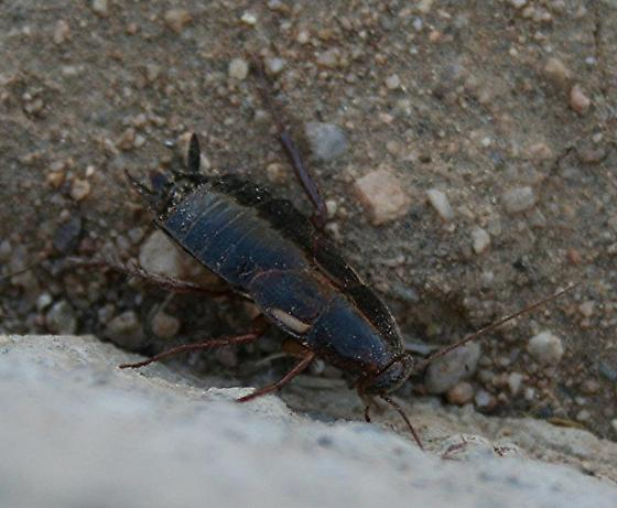 Is this a roach? - Shelfordella lateralis