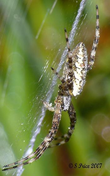 Spider sp - Argiope aurantia - female
