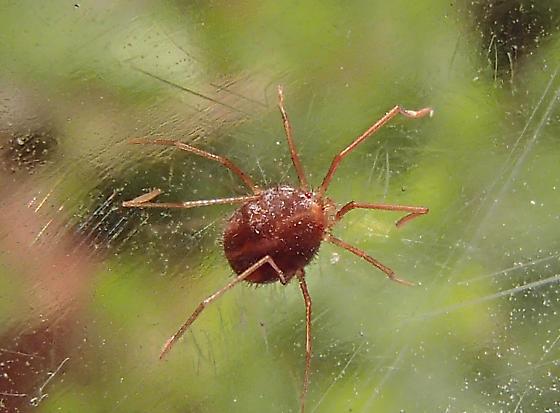 Mite - Erythraxus