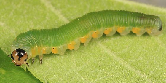 Sawfly on Hawthorn