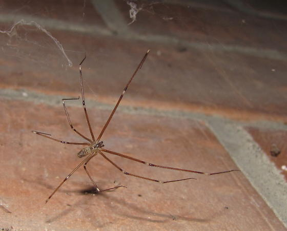 Cellar spider at TX mini-gathering - Holocnemus pluchei - male