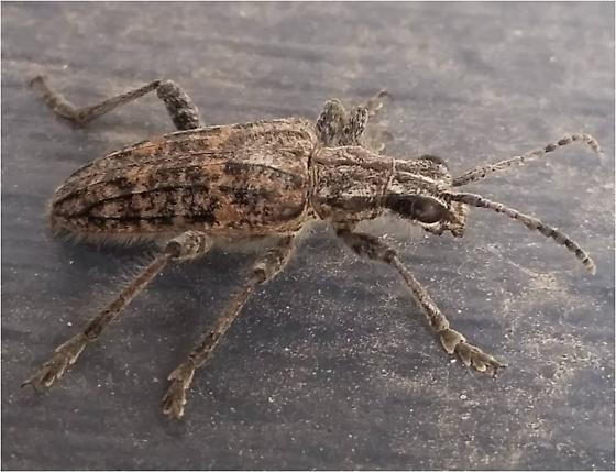 What Specie is this? (Binomial name please) - Rhagium inquisitor
