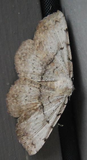 unknown - Spiloloma lunilinea