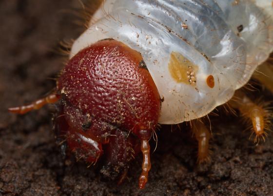 Larva, Grant's Hercules Beetle - Dynastes grantii