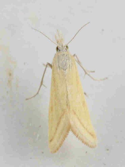 Lepidoptera -? - Microtheoris ophionalis