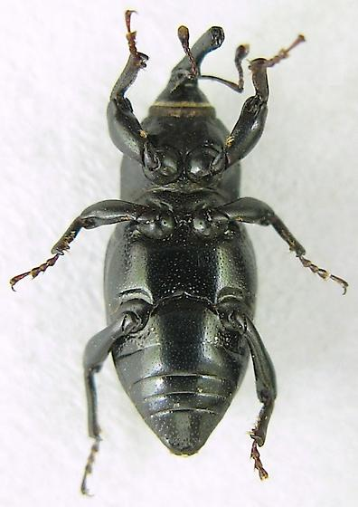 Rocky Mountain Billbug? - Sphenophorus cicatristriatus