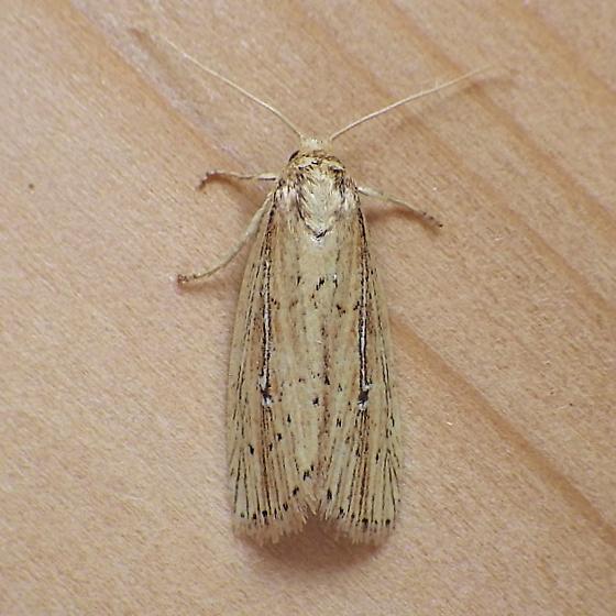 Noctuidae: Photedes defecta - Photedes