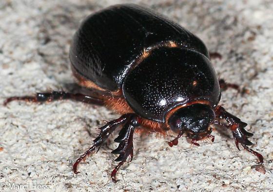 Xyloryctes jamaicensis?