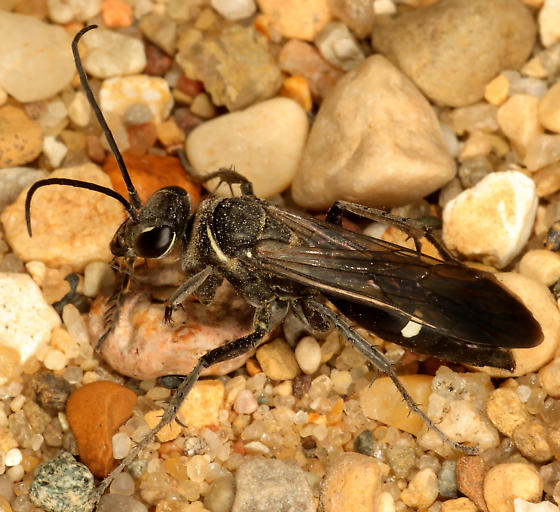 Episyron biguttatus or different ? - Episyron - female