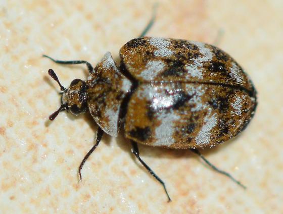 carpet beetle? - Anthrenus verbasci