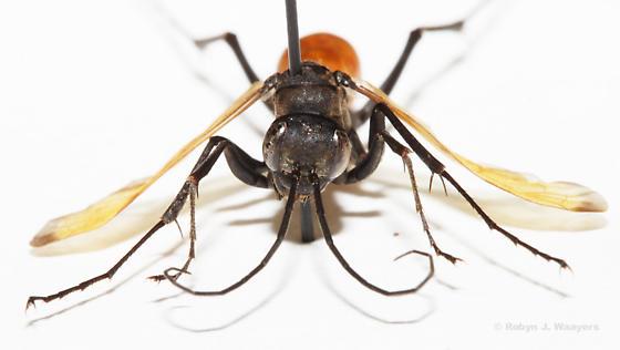 Undetermined Wasp - Ageniella reynoldsi