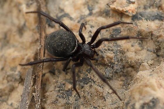Spider - Steatoda