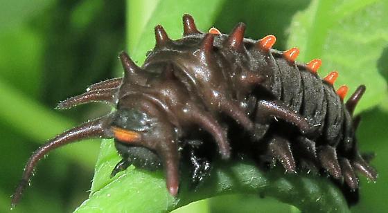 Pipevine Swallowtail caterpillar #2 - Battus philenor