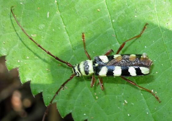 Long-horned Beetle? - Dryobius sexnotatus