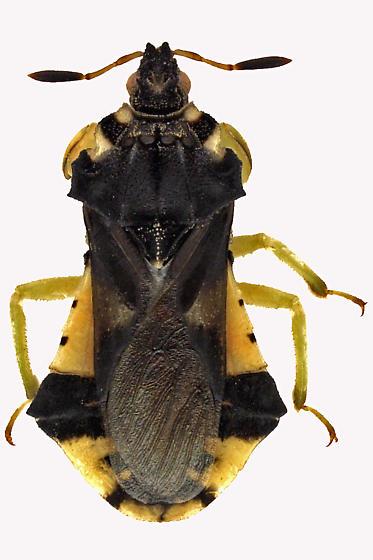 Assassin Bug - Phymata americana
