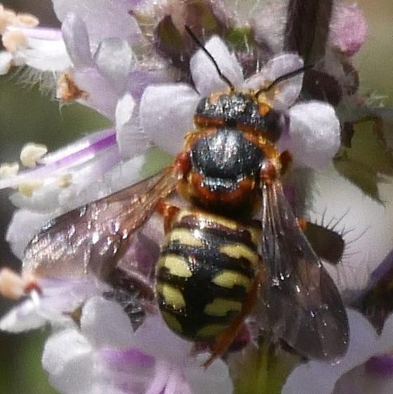 small bee - Dianthidium curvatum