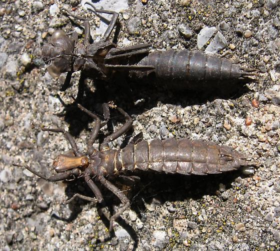 Unidentified Dragonfly Exuviae - Boyeria vinosa