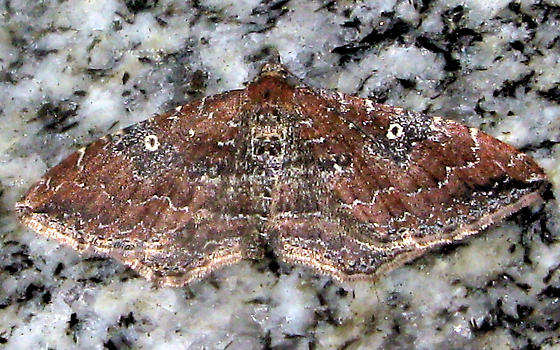 Moth - Orthonama obstipata - female