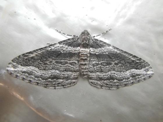 Moth A 11.7.16 - Lithostege deserticola
