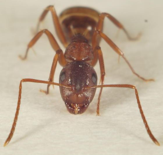 Unknown Ant - Camponotus subbarbatus