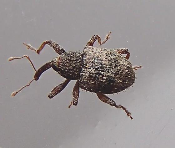 Weevil - Pheloconus cribricollis